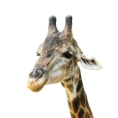 giraffe head isolated on white background photo