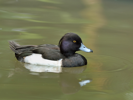 tufted: Tufted Duck