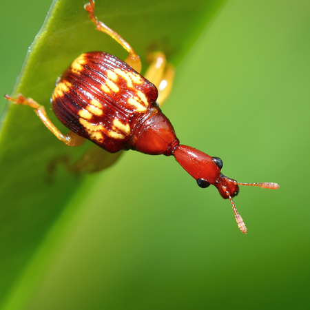 Macro of giraffe weevil photo