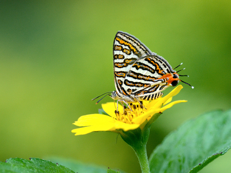 silverline: Butterfly (Small Long-banded Silverline) , Thailand