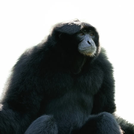 staunch: Siamang