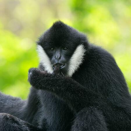 hominid: Bianco cheeked gibbone