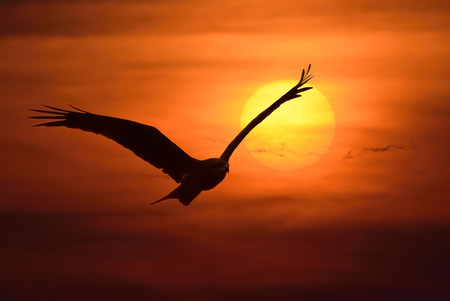 Silhouette bird flying at sunset photo