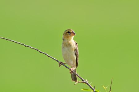 Bird (Asian Golden Weaver) , Thailand