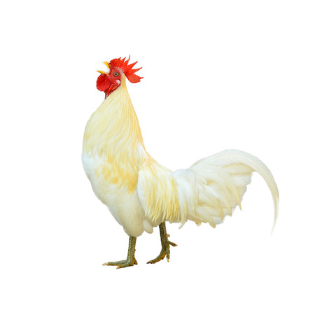 White Cockerel (Rooster) isolated on white background photo