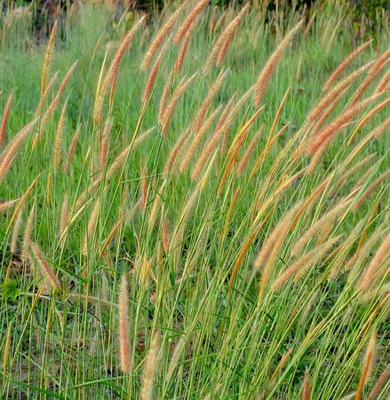 reeds of grass photo