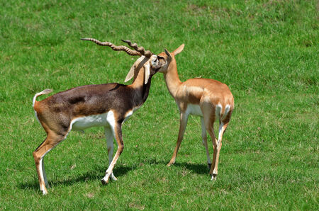 nukuru: Gazelle