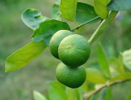 Growing organic lemons photo