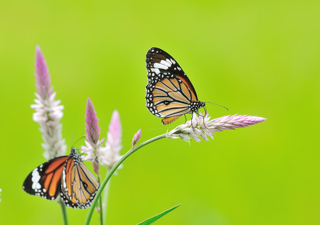 Butterfly (Common Tiger) and flower