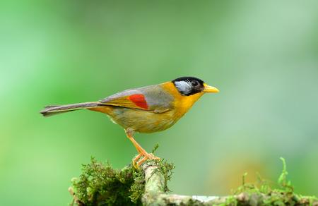 mesia: Bird (Silver-eared Mesia)