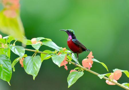 sunbird: Bird (Purple-throated Sunbird) , Thailand
