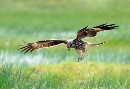 milvus: Bird (Black kite) , Thailand