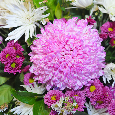 beautiful chrysanthemum flower Stock Photo