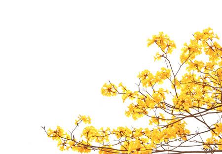 gele bloemen bloeien in het voorjaar op een witte achtergrond