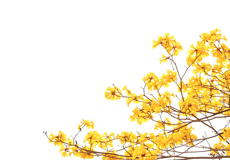 blossoming yellow flower tree: yellow flowers bloom in spring isolated on white background