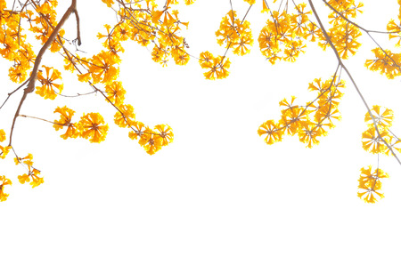 blossoming yellow flower tree: Yellow flowers bloom in spring isolated on white