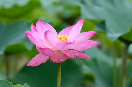 nelumbo nucifera: Lotus flower Stock Photo