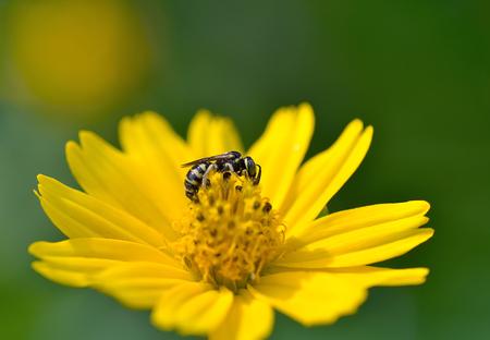 recoger: La miel de abeja a la flor y recoger el néctar Foto de archivo