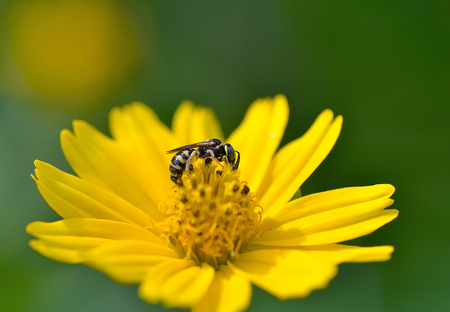 cobrar: La miel de abeja a la flor y recoger el n�ctar Foto de archivo