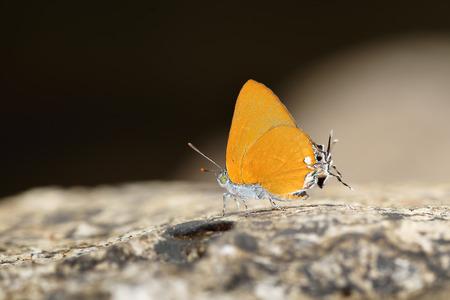 Butterfly (Purple Sapphire) , Thailand