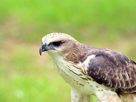 songster: Changeable Hawk Eagle Nisaetus limnaeetus