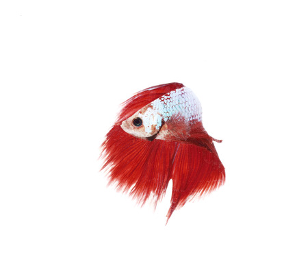 siamese fighting fish, betta splendens isolated on white background Stock Photo