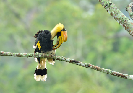 strikingly: Bird (Great hornbill) , Thailand