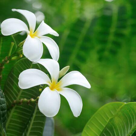 beautiful white frangipani flowers