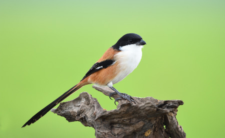 Bird (Long-tailed Shrike) , Thailand Stock Photo