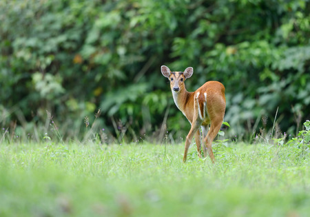 Female White-tailed Deer in a field of tall grass