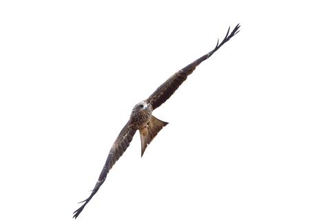 Black kite or Pariah kite  flying on white background Stock Photo