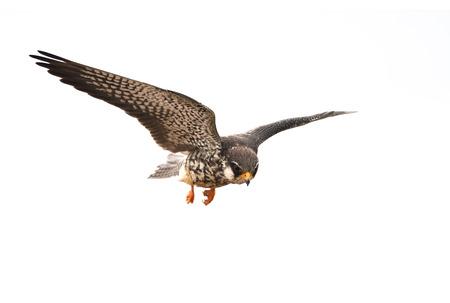 Amur Falcon on flying isolated on white background