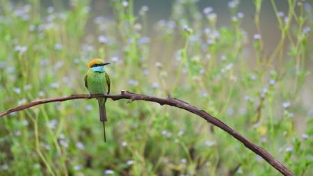 Bird (Green Bee-eater) , Thailand