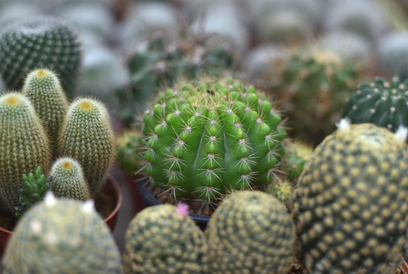 cactus in a group Stock Photo