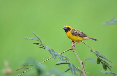 Beautiful bird Asian Golden Weaver on breeding,Male Ploceus hypoxanthus