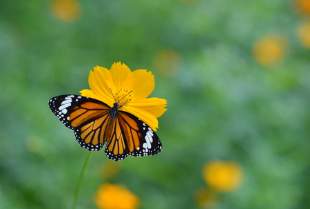 Butterfly (Common Tiger) and flower in nature Stock Photo