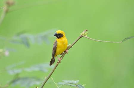 Beautiful bird Asian Golden Weaver on breeding,Male Ploceus hypoxanthus