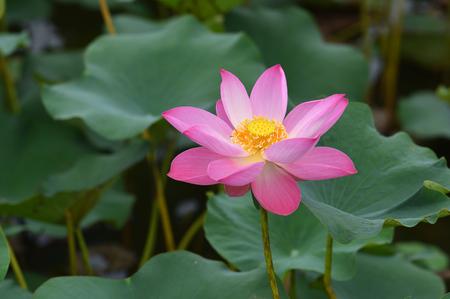 lotus flower blossom Stock Photo