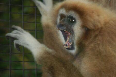 teeth showing monkey Stock Photo
