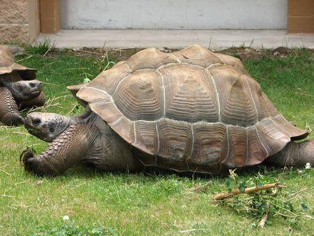 amphibia: lazy turtle