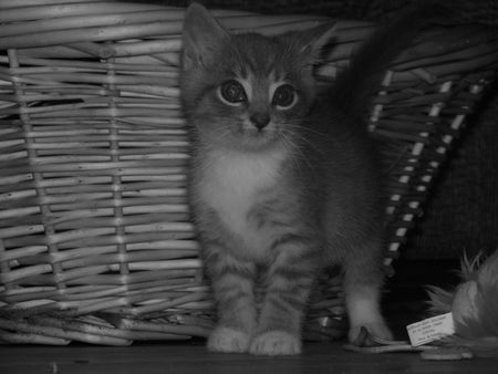 black and white cute kitten in front of basket with intended lighting and composition photo