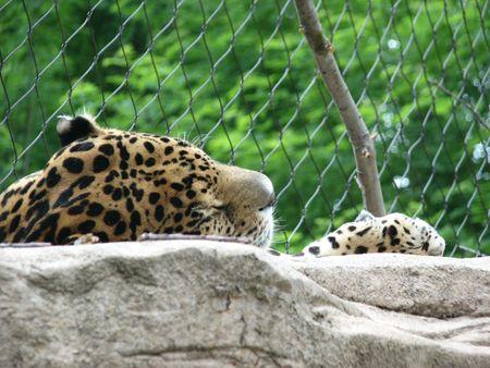 cheetah napping at cleveland zoo Reklamní fotografie