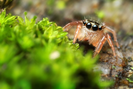 Jumping Spider Horn Stock Photo - 17360809