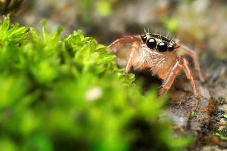 Jumping Spider Horn