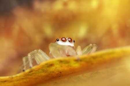 Jumping spider yellow Stock Photo