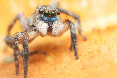 Jumping spider blue face Stock Photo - 17360831