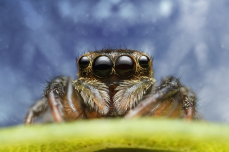 eye jumping spider Stock Photo - 17360764