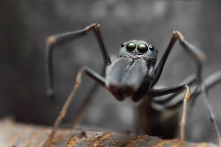 Spider ant