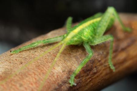 Green grasshopper Stock Photo - 17386645