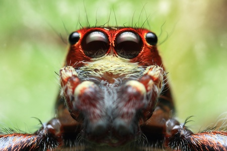 jumping spider: Face of jumping spider Stock Photo